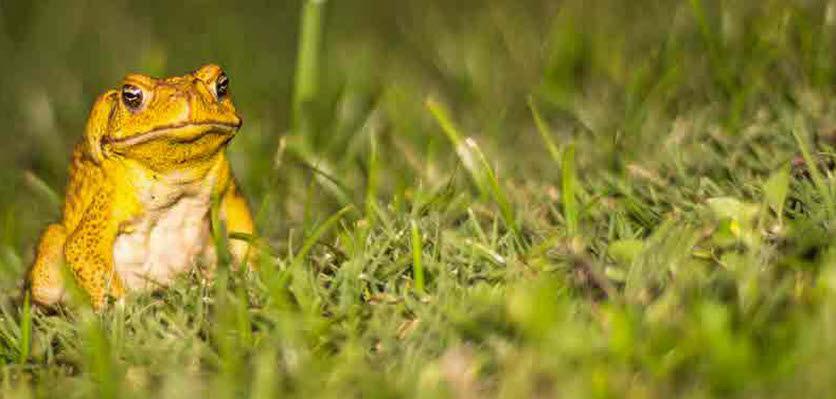 6e0a9585fe6f4 Cane toads demonstrate impressive adaptation
