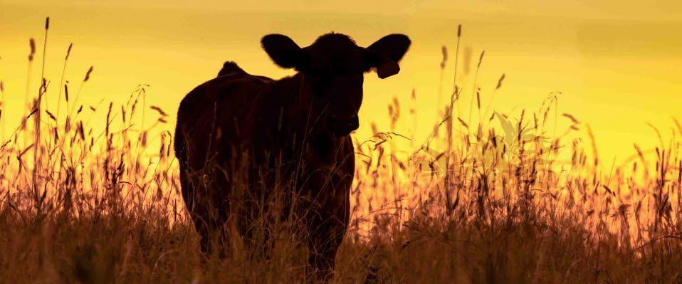 Cattle pregnancy testing should be vet-only for accuracy