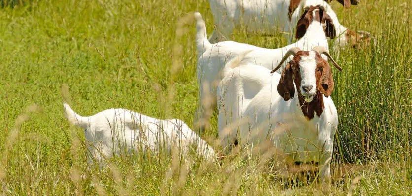 Goat Farming The Basics