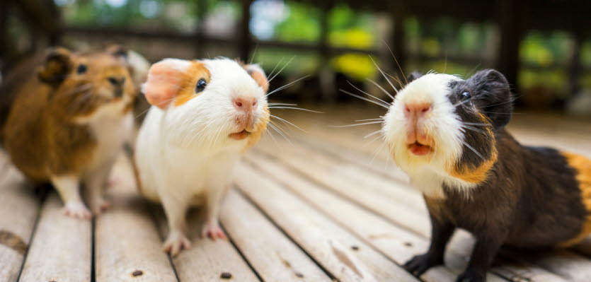 Owning a guinea pig | Vet Voice