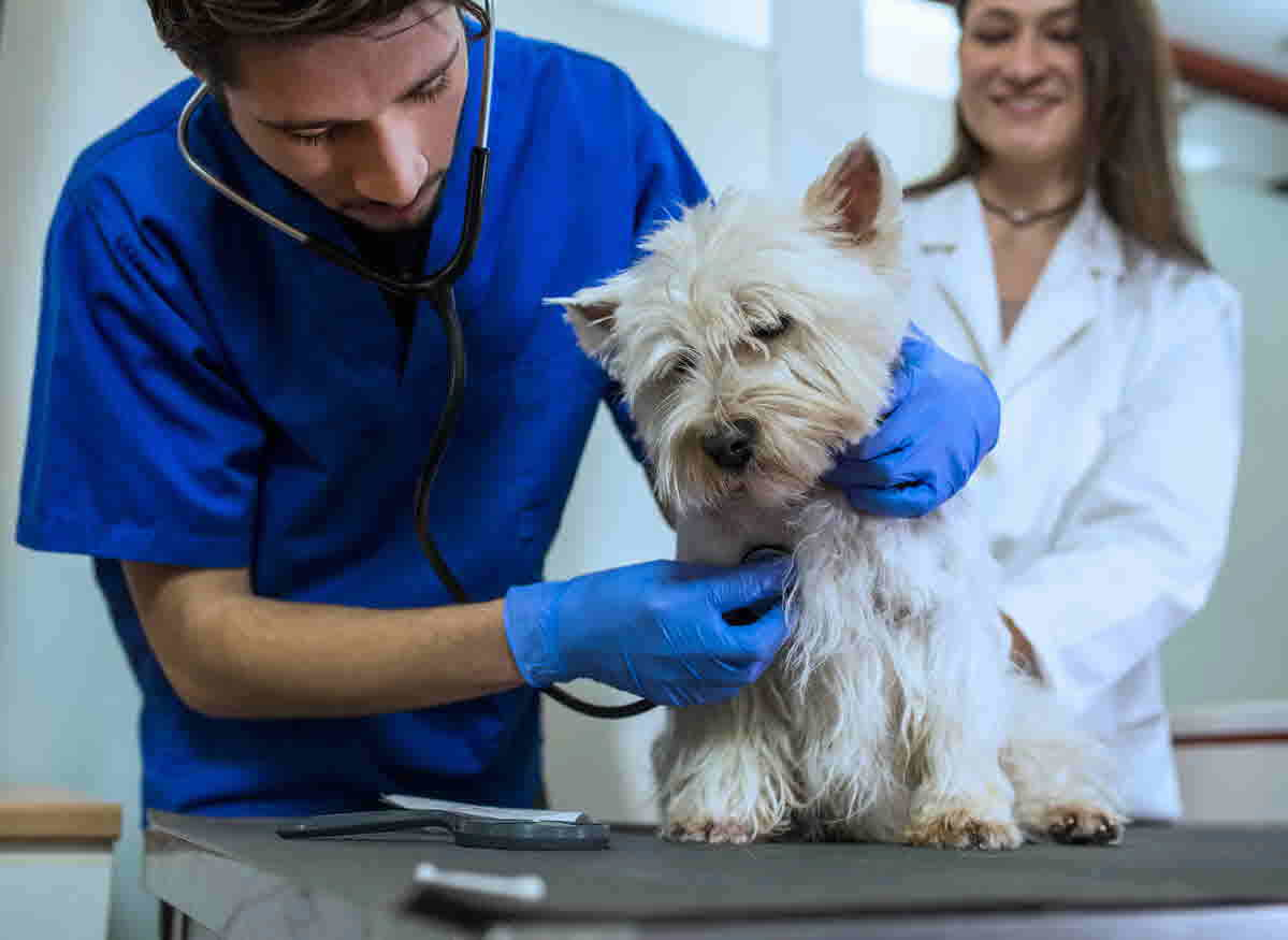 How to become a Veterinarian in Australia